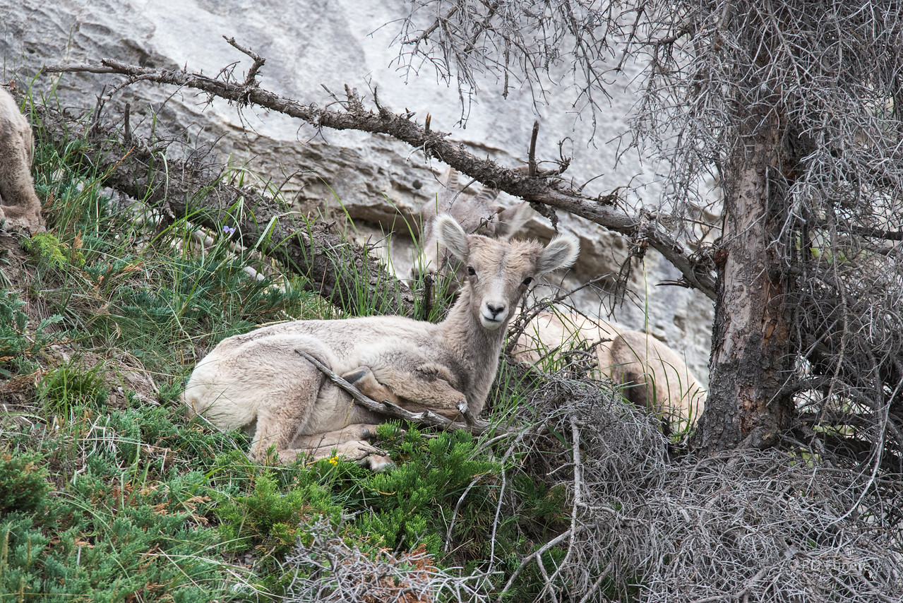 We saw a small herd of mountain sheep with several lambs coming down the very steep and rocky hillside intent on crossing the highway.