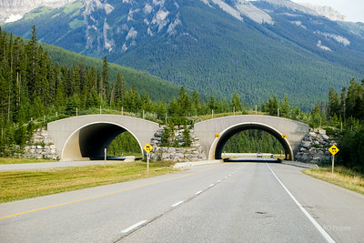One of five overpasses built for wildlife to allow animals to cross the Trans-Canada Highway. The highway is fenced on both sides directing wildlife to cross at these bridges as well as through many underground tunnels.
