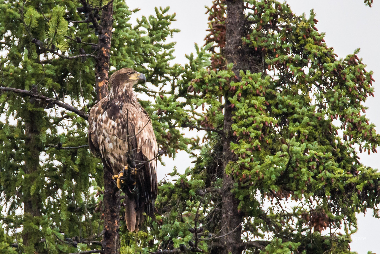 Immature bald eagle (I think) at a pull out on route 93 south of Jasper.