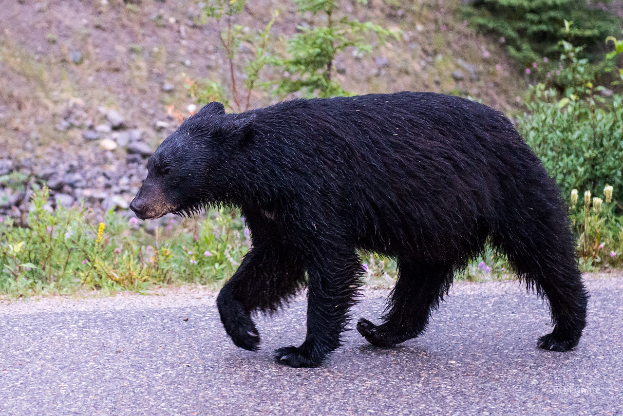 He walked alongside the van for a good bit. One of the big problems for the bears is when they get too accustomed to humans. They develop bad traits and sometimes have to be dealt with by the park rangers.