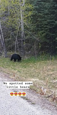 Black bear  (Jasper National Park)