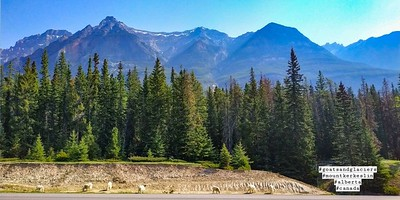 Funny, there were goats in Goats and Glaciers (Icefields Parkway)