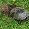 Turtle preparing to lay eggs at the Schuyler-Colfax House in Wayne.