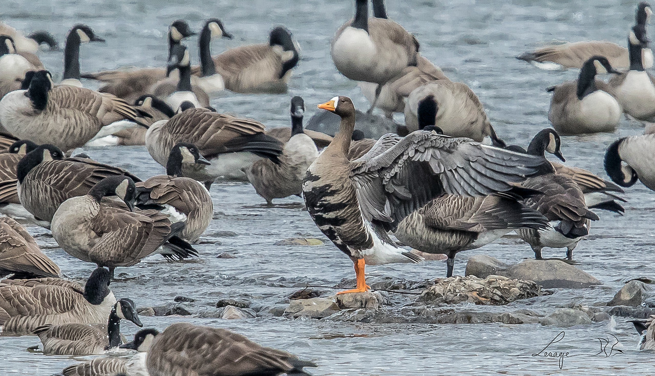 Oie Rieuse, Greater white front goose