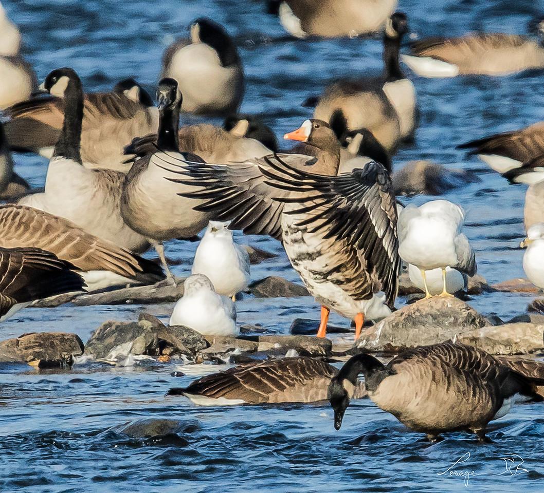 Oie rieuse , greater white front goose, le 3 novembre