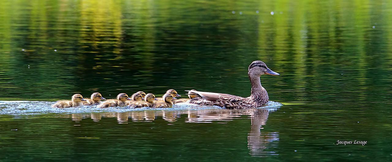 maman canard colvert - Parc du Mont St- Bruno août 2012.