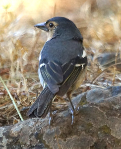 Central Canary Islands Common Chaffinch (Gran Canaria) 20170702 P_Davis DSC03390