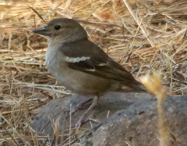 Central Canary Islands Common Chaffinch (Gran Canaria) 20170702 P_Davis DSC03355