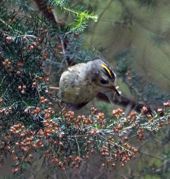 Western Canary Islands Goldcrest (La Palma) 70170710 P_Davis DSC06115
