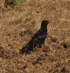 Red-billed Chough (barbarus) (La Palma) 20170711 DSC06794