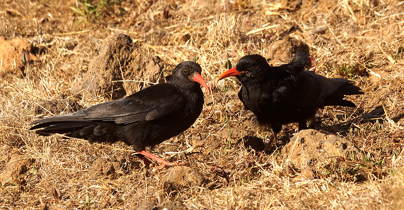 Red-billed Chough (barbarus) (La Palma) 20170711 P_Davis DSC06855