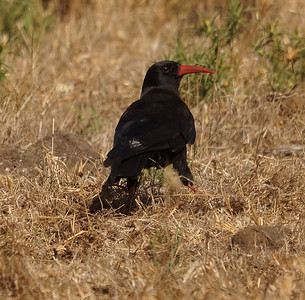Red-billed Chough (barbarus) (La Palma) 20170711 DSC06725
