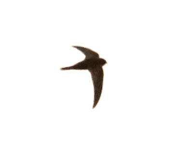 Swift sp  (La Palma) 20170710 P_Davis DSC06252