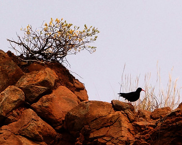 Red-billed Chough (barbarus) (La Palma) 20170711 DSC06650