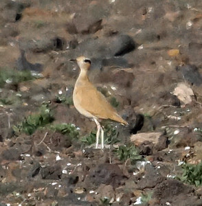 Cream-colored Courser (Lanzarote) 20170705 P_Davis DSC04639