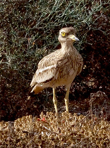 Eastern Canary Islands [European] Stone-curlew (Lanzarote) 20170705 P_Davis DSC04606