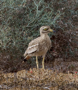 Eastern Canary Islands [European] Stone-curlew (Lanzarote) 20170705 P_Davis DSC04615