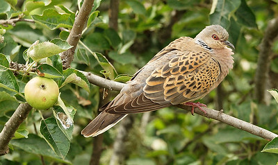 Eurasian Turtle-Dove