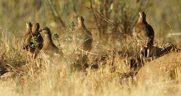 Red-legged Partridge (Gran Canaria) 20170702 P_Davis DSC02991