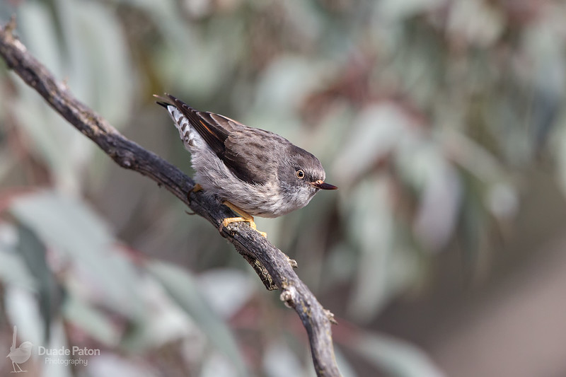 Varied Sittella