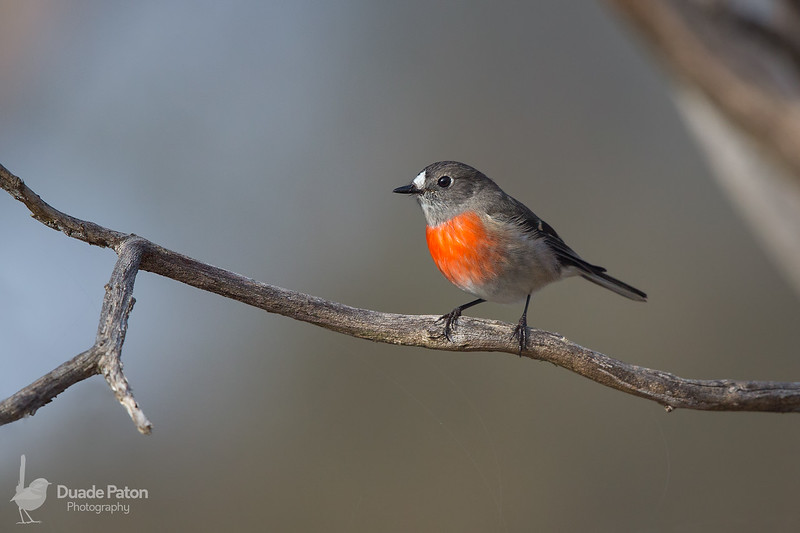 Scarlet Robin - Female