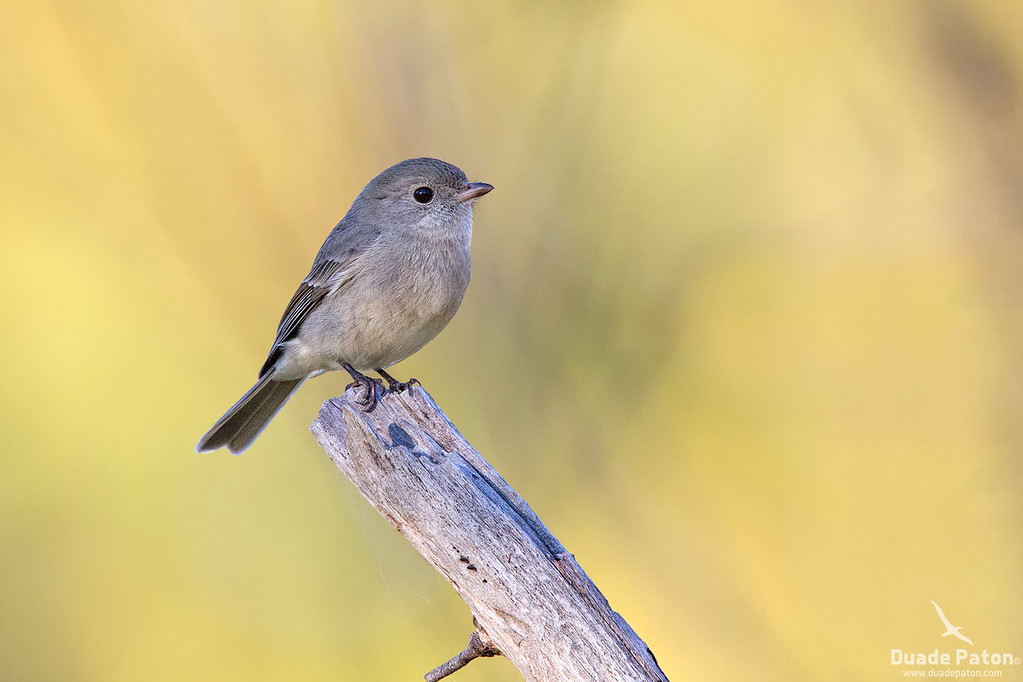 Golden Whistler (Female)