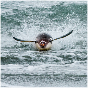 25-A_Set_Gentoo_Penguin_Surfing_for_its_life
