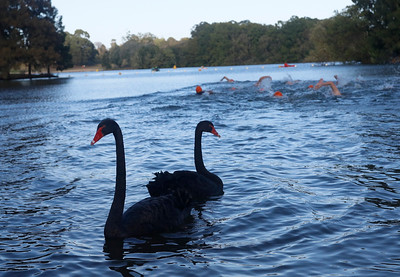 The Sri Chinmoy Lake Swims were staged in Lake Burley Griffin, Canberra on Sunday 24 February 2019 over the distances of 5km, 2.5km and 500 metres.