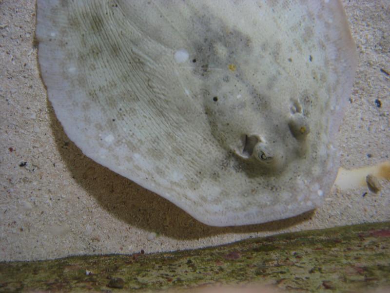 Stingray at Xcaret's aquarium