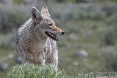 Coyote at Slough Creek, Yellowstone