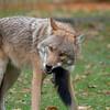 Eastern Coyote Eats Squirrel