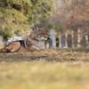 Cemetery Coyote