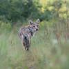 Eastern Coyote in Summer