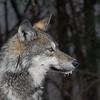 Algonquin Wolf