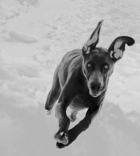 Our wild and crazy Weimaraner Ruby