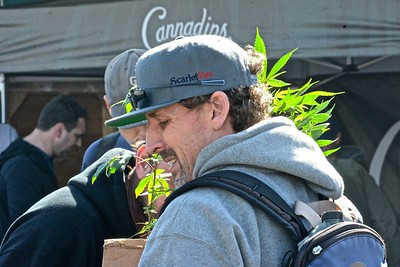Bryan Sayre of Scarlet Fire Farms in Willow Creek carries a cannabis start to his booth set-up in the 215 Medial Marijuana section of the festival. (Jose Quezada - For the Times-Standard)