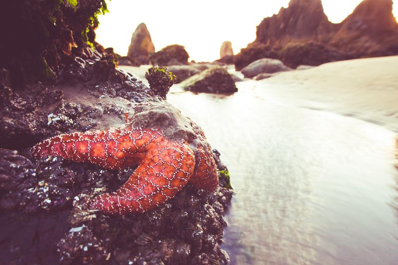 Starfish, Sea star, Haystack Rock, low tide, Cannon Beach