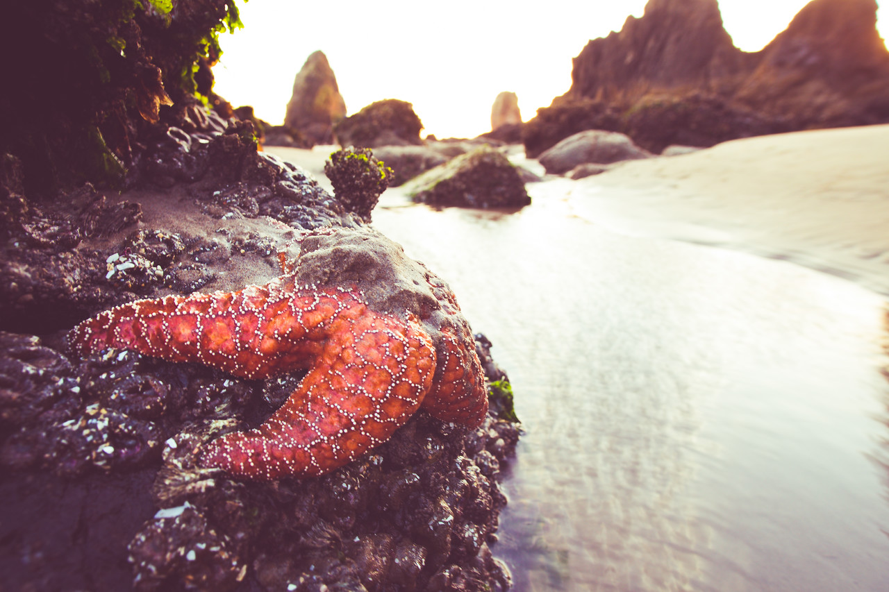 Starfish, Sea star, Haystack Rock, low tide, Cannon Beach