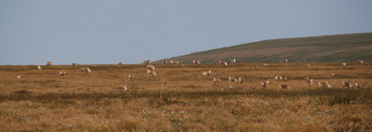 The following day, we hike to a high point on a near-by ridge. Herds of caribou that we had seen last night are grazing.