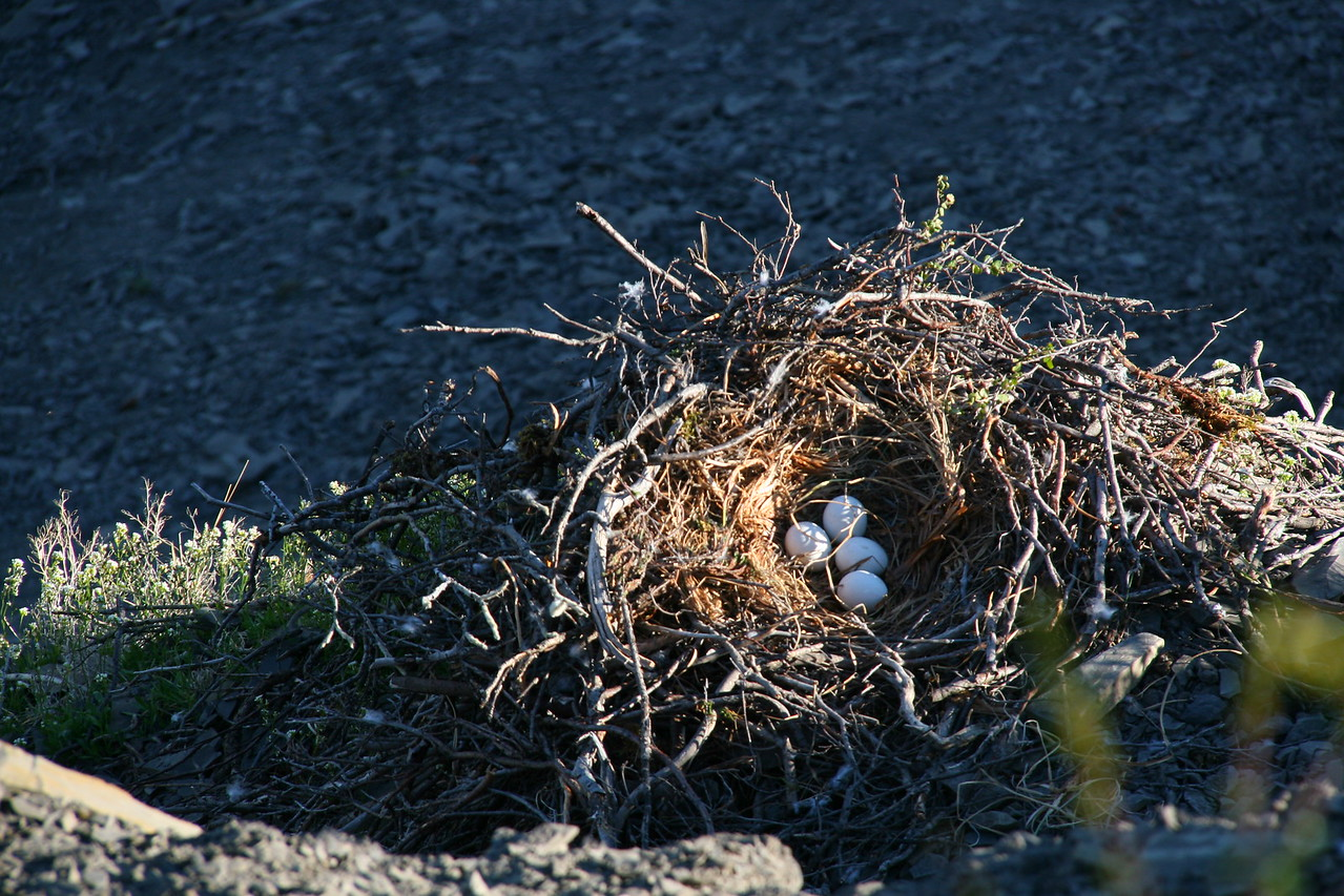 Rough-legged Hawk nest above Cliff Camp with 4 eggs.