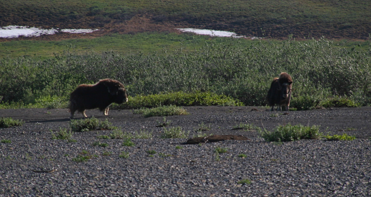 A high point of the trip was seeing 6 musk oxen near our camp. We set up the spotting scope and watch them for a long time.