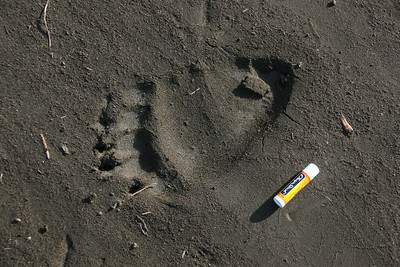 "Camp 4 - The""bear track"" of Bear Track Camp"