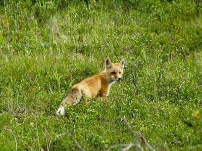 I'd never seen a fox in the wild.  It would creep up on prey, and then leap up and pounce!