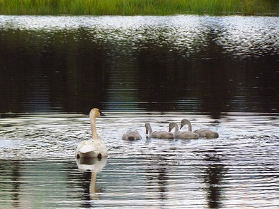 Saw trumpeter swan families a lot of places around Alaska.  Adults mate for life.