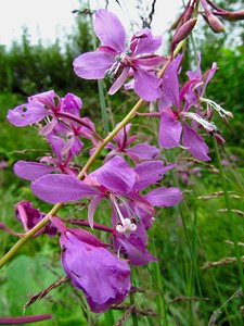Fireweed is beautiful and was blooming everywhere.  (Should be the state flower.)