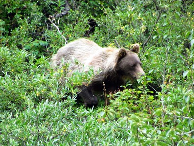 Saw well over a dozen grizzlies, including quite a few cubs. It's really helpful to bring good binoculars & camera with long zoom lens.