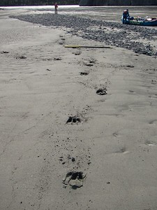 Fresh moose tracks on our beach. Moose are considered more dangerous than grizzlies. Very territorial, & will try to stomp you to death.