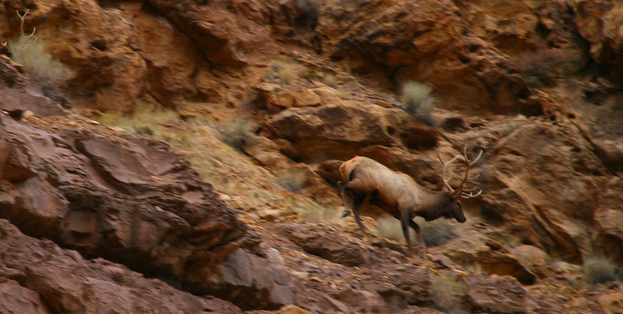 Elk during Hunting Season