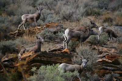 Lots of Bighorns