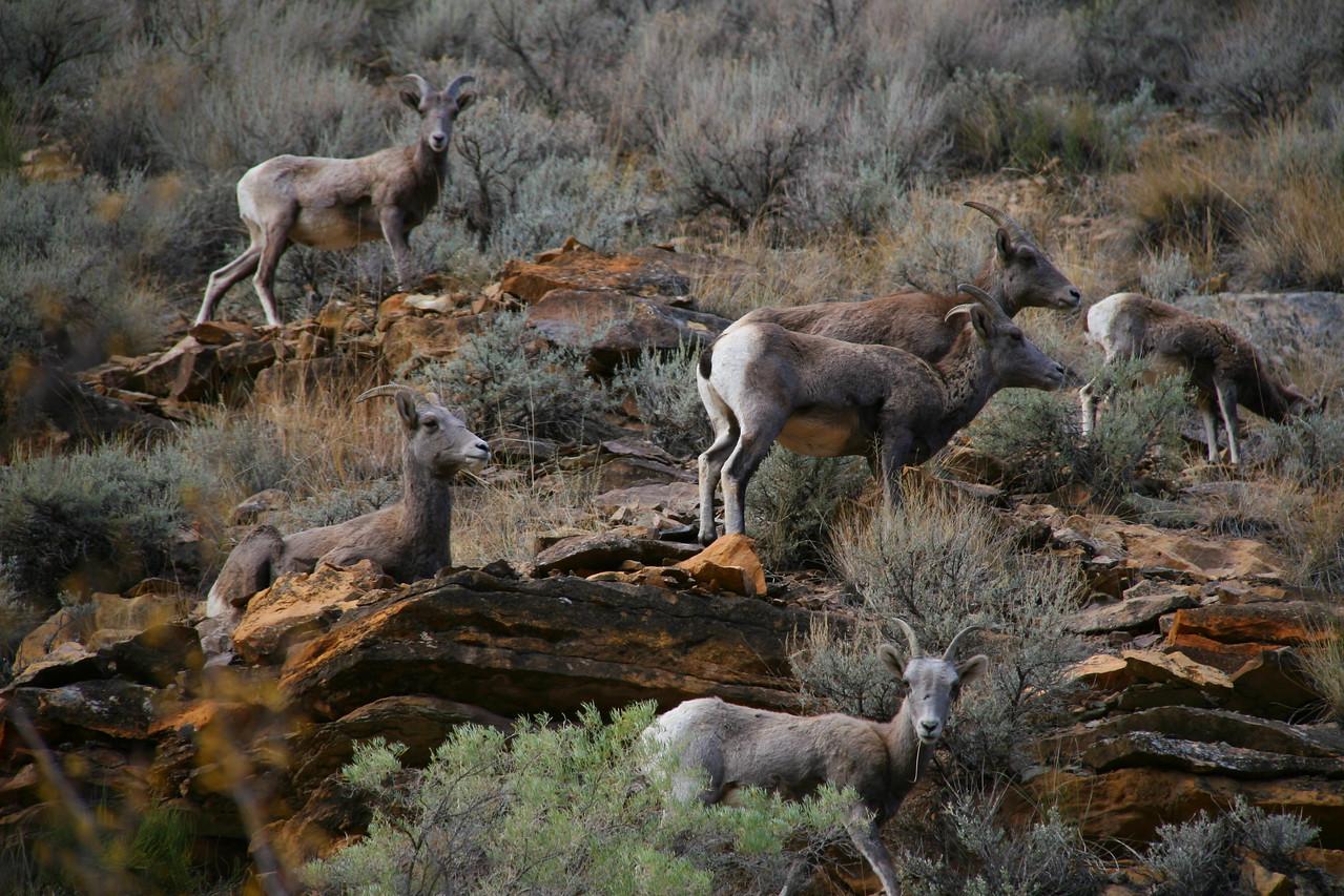 Lots of Bighorns